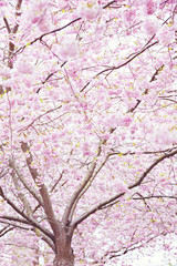Delicate cherry blossom tree