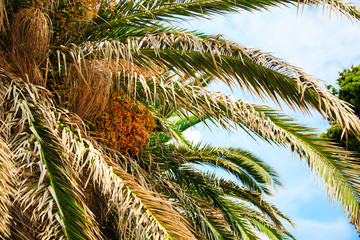 Date palm tree with dead leaves and cluster of orange unripe dates