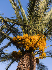 Palm tree full with yellow dates.