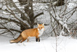Red fox (Vulpes vulpes) in the snow in Algonquin Park
