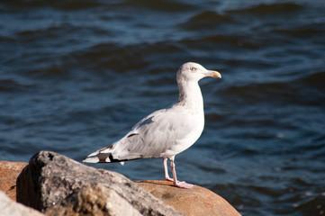 Vogelkunde am Ostsee. Möwen