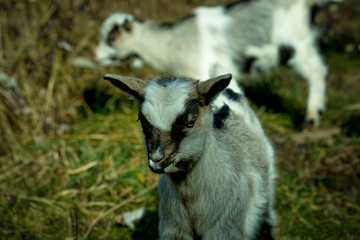 Young grey goats pasture