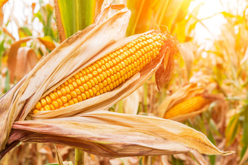 ripe corn in the field of farmland wait for harvest