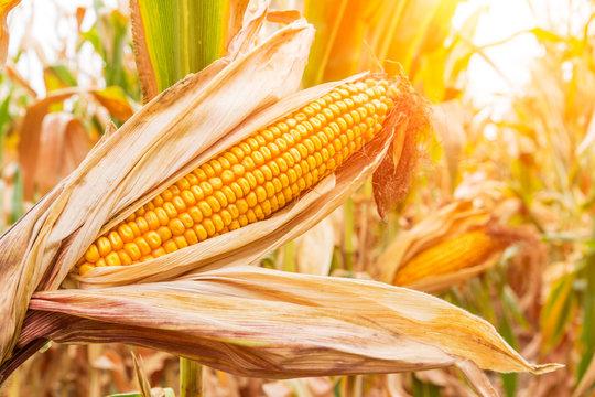 ripe corn in the field of farmland wait for harvest