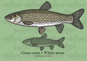 Grass carp, White amur. Vector illustration for artwork in small sizes. Suitable for graphic and packaging design, educational examples, web, etc.