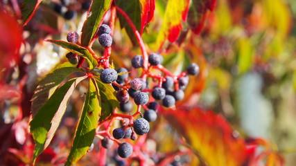 Pnącze bluszczu w pieknych kolorach jesieni