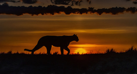 Cougar hunting at dawn,photo art