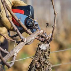 Travaux d'hiver dans la vigne