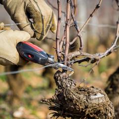 Travaux d'hiver dans les vignes