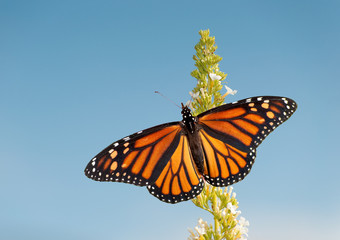 Female Monarch butterfly feeding on white flower cluster of a Butterfly bush, against blue sky