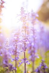 lavender field with sun light.