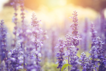 beautiful gentle lavender flower field with sun light background.