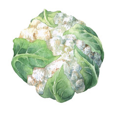 Fresh cauliflower with green leaves. Watercolor hand painting illustration on isolate white background.