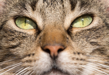 Green eyes of a brown tabby cat, lit by sun