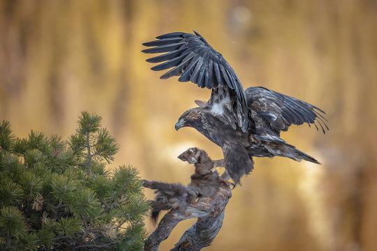 Golden eagle with marten