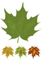 Isolated green maple leaf and multicolored autumn leaves variants. Botanical name Acer. Set of natural design elements. Canadian national symbol.
