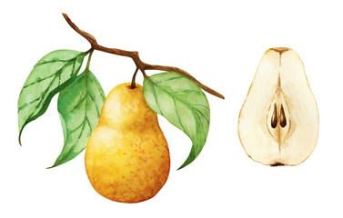 Watercolor pear on the branch and cutaway