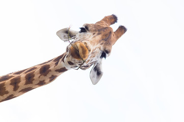 Photo sur Toile Girafe Giraffe's Head Isolated against a white sky