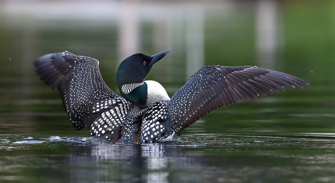 Common Loon (Gavia immer) breaching the water to dry her wings in the morning as she swims on Wilson Lake, Que, Canada