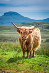 Fototapete - Brown highland cow in Scotland, United Kingdom