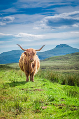 Fototapete - Furry highland cow in Scotland, United Kingdom