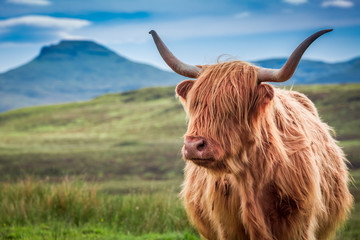 Furry highland cow in Isle of Skye, Scotland Wall mural