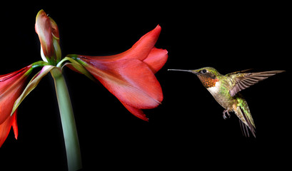 Hummingbird with Beautiful Tropical Flower on Black Background