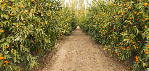 Raw Food Fruit Oranges Ripening Agriculture Farm Orange Grove