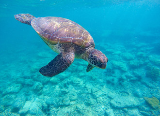 Snorkeling with sea turtle in blue lagoon