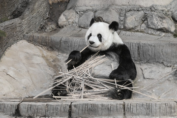 Cute Giant panda eating bamboo - soft focus