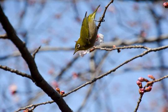 White‐eye sitting on a Cherry Tree; a bird of the silvereye group