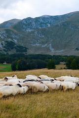 flock of sheep grazes on pasture