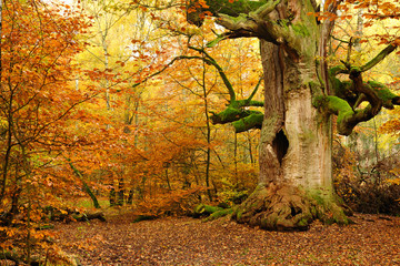 Mighty Hollow Moss Covered Oak Tree in Autumn Forest, Leaves Changing Colour