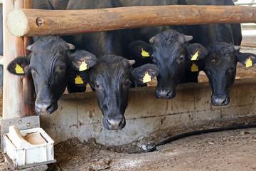 牛舎の肉牛たち