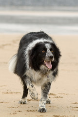 Border Collie dog on beach waiting for tennis ball to be thrown