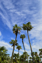 Palm trees on the background of a blue sky