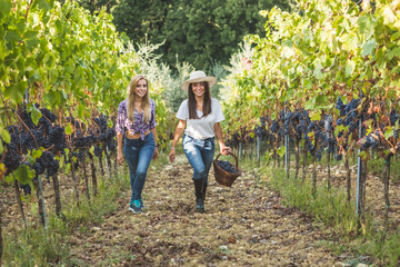Friends gathering grapes during harvest