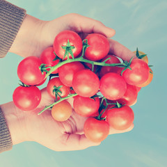 Tomatoes cherry in farmer hands.Toned colors style image