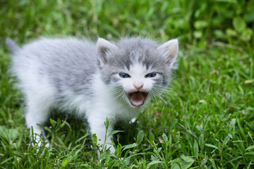 small gray kitten meowing in a meadow closeup