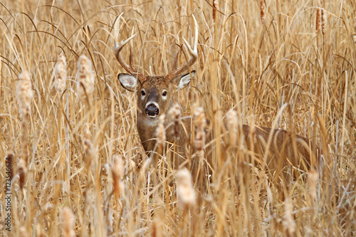White-tailed deer buck in the tawny grass