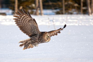 Great grey owl hunting over a snowy field