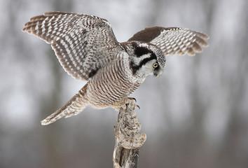 Northern Hawk Owl (Surnia ulula) landing on a stump in Canada