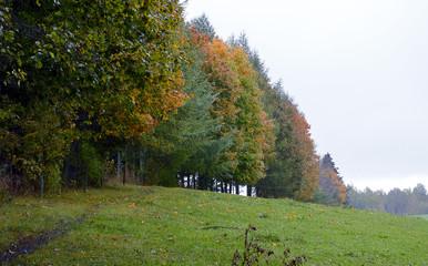 Rainy, misty, autumn: row of oaks by Pobledzie Lake (Zollteich)