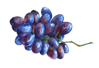 Bunch of black  fresh grapes. Hand drawn watercolor painting on white background.