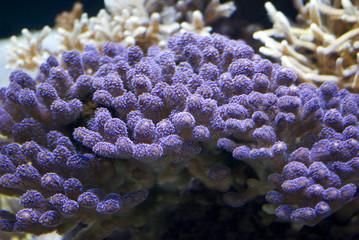 Sea Anemone, Stylophora Milka