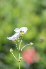 Close up of  oriental water plantain rhizome  flower