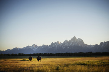 American bisons walking on grassy field against clear sky