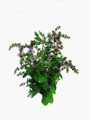 Herbaceous plants Peppermint blossoms