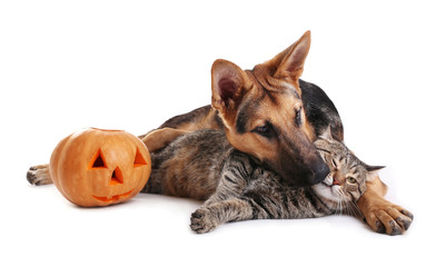 Cute shepherd dog and cat with Halloween pumpkin on white background