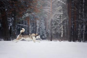 Dog breed Siberian Husky running on a snowy